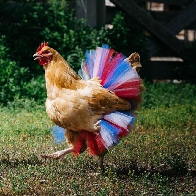 Chùm ảnh: Khi lũ gà mặc váy múa ba lê hóa ra lại đáng yêu khó cưỡng như thế này - Ảnh 13.