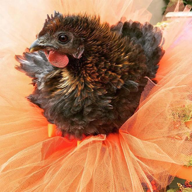 Chùm ảnh: Khi lũ gà mặc váy múa ba lê hóa ra lại đáng yêu khó cưỡng như thế này - Ảnh 15.