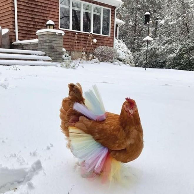 Chùm ảnh: Khi lũ gà mặc váy múa ba lê hóa ra lại đáng yêu khó cưỡng như thế này - Ảnh 17.