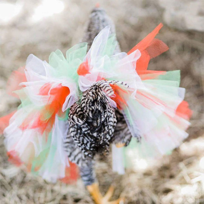 Chùm ảnh: Khi lũ gà mặc váy múa ba lê hóa ra lại đáng yêu khó cưỡng như thế này - Ảnh 4.