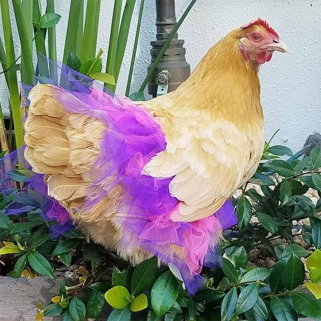 Chùm ảnh: Khi lũ gà mặc váy múa ba lê hóa ra lại đáng yêu khó cưỡng như thế này - Ảnh 5.