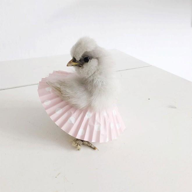 Chùm ảnh: Khi lũ gà mặc váy múa ba lê hóa ra lại đáng yêu khó cưỡng như thế này - Ảnh 6.