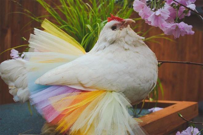 Chùm ảnh: Khi lũ gà mặc váy múa ba lê hóa ra lại đáng yêu khó cưỡng như thế này - Ảnh 7.