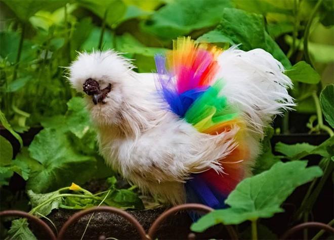 Chùm ảnh: Khi lũ gà mặc váy múa ba lê hóa ra lại đáng yêu khó cưỡng như thế này - Ảnh 9.