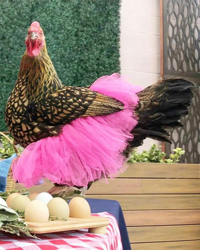 Chùm ảnh: Khi lũ gà mặc váy múa ba lê hóa ra lại đáng yêu khó cưỡng như thế này - Ảnh 10.