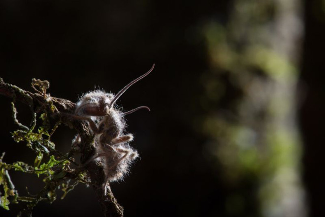 Loài nấm zombie lây nhiễm kiến, biến chúng thành những con rối thây ma - Ảnh 2.
