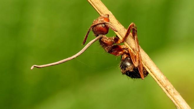 Loài nấm zombie lây nhiễm kiến, biến chúng thành những con rối thây ma - Ảnh 3.