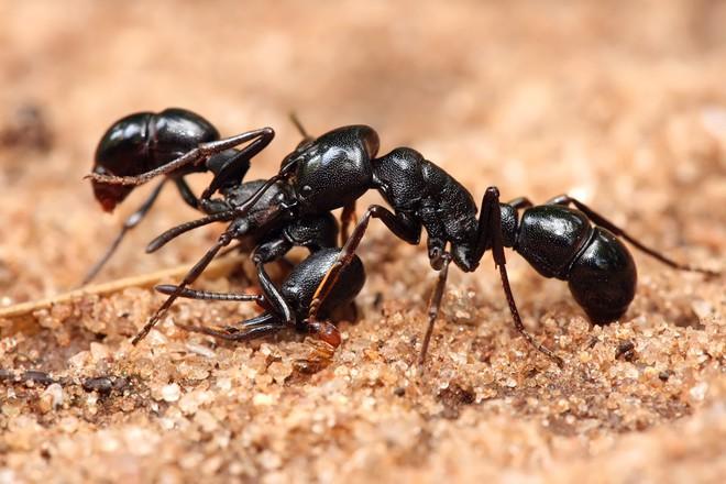 Loài nấm zombie lây nhiễm kiến, biến chúng thành những con rối thây ma - Ảnh 4.