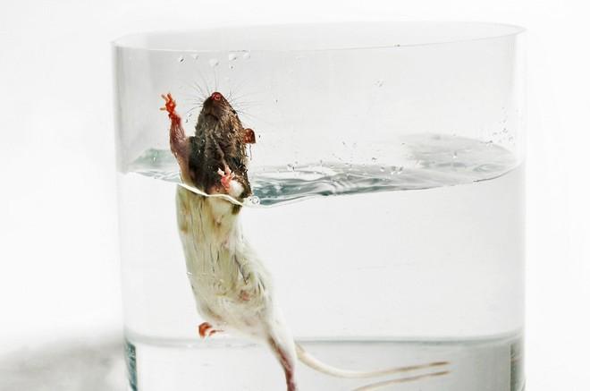 Bơi đến kiệt sức trong ống nghiệm: Những con chuột đang hi sinh giúp con người nghiên cứu bệnh trầm cảm - Ảnh 1.