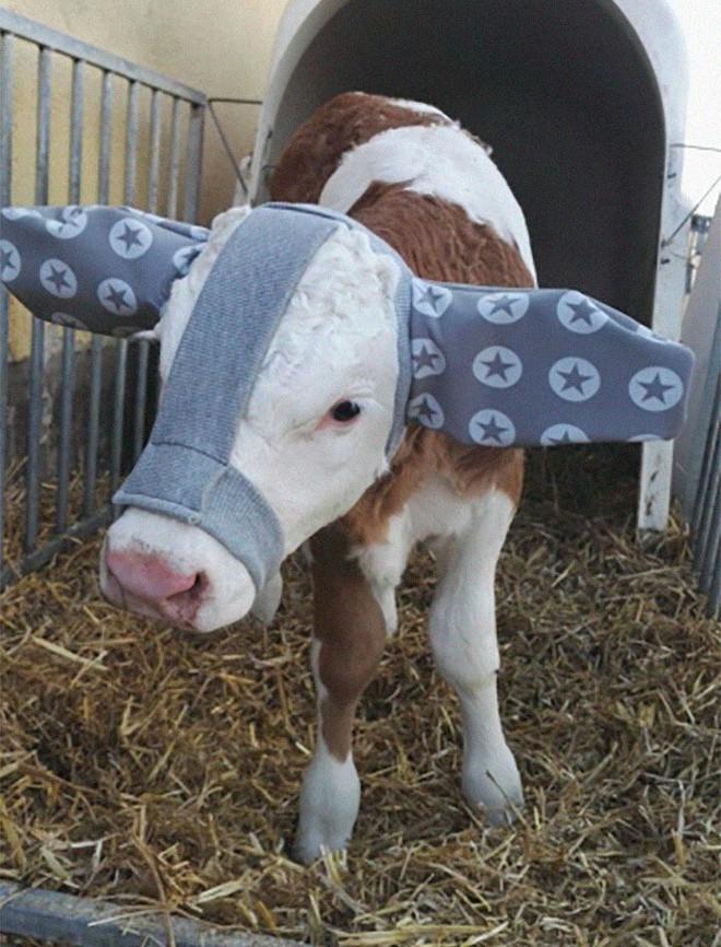 Đang yên lành, đàn gia súc bỗng dưng thành tiêu điểm mạng nhờ chiếc bờm chống rét độc đáo - Ảnh 6.