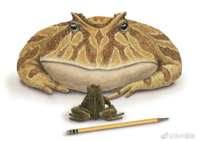 Beelzebufo - Loài ếch quỷ khổng lồ có thể nuốt chửng cả khủng long - Ảnh 4.