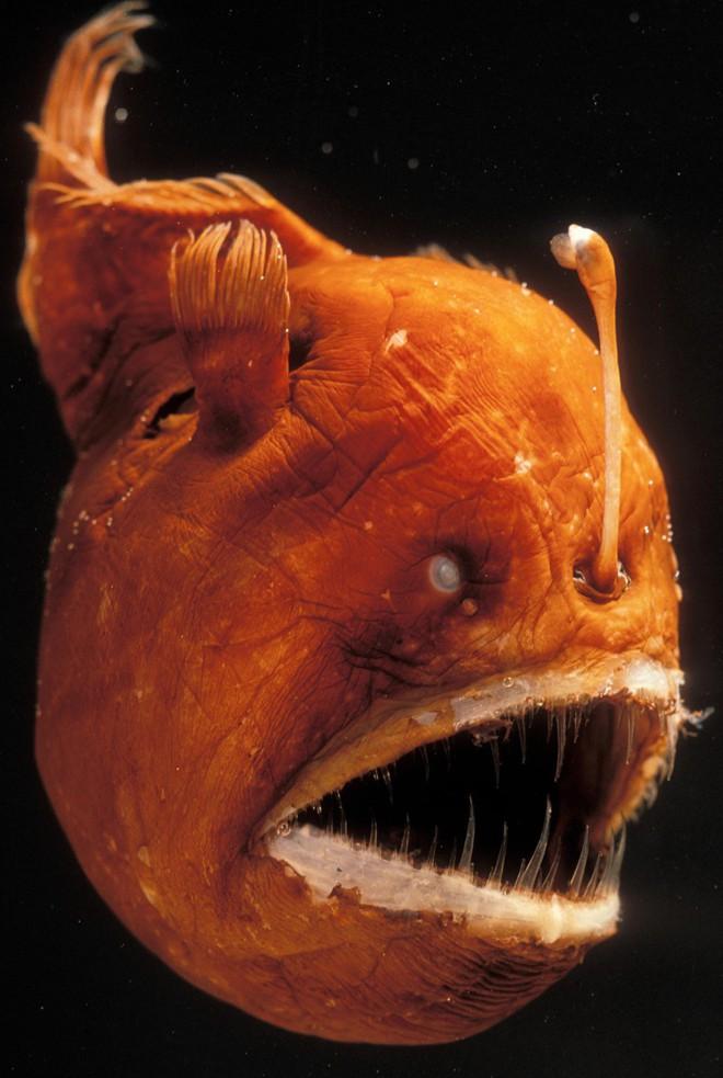 Cá lồng đèn: tên dễ thương nhưng mặt thì khì không thương nổi và có những hành vi đáng sợ nhất đại dương - Ảnh 1.