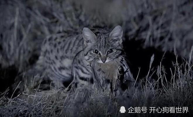 Mèo chân đen: Nhìn thì có vẻ ngây thơ nhưng chúng lại là loài mèo nguy hiểm nhất trên Trái Đất - Ảnh 2.