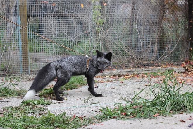 Thí nghiệm thuần hóa của Nga biến loài cáo bạc trở thành chó - Ảnh 3.