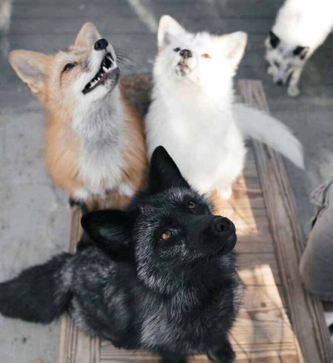 Thí nghiệm thuần hóa của Nga biến loài cáo bạc trở thành chó - Ảnh 10.