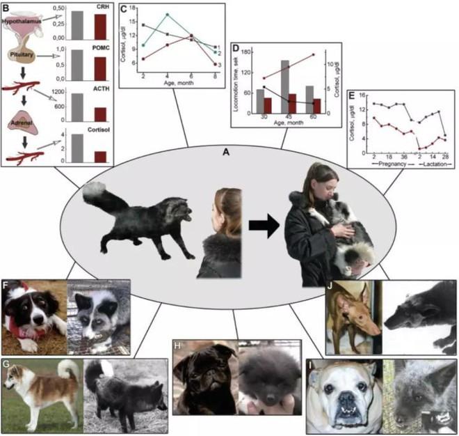 Thí nghiệm thuần hóa của Nga biến loài cáo bạc trở thành chó - Ảnh 14.