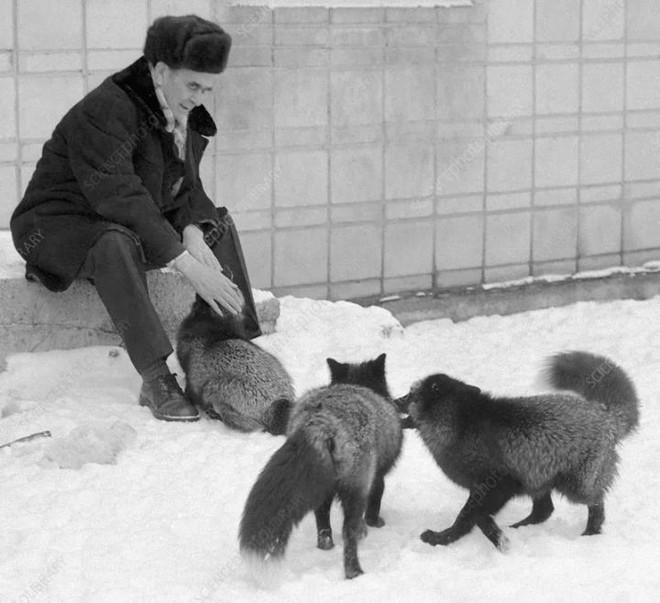 Thí nghiệm thuần hóa của Nga biến loài cáo bạc trở thành chó - Ảnh 7.
