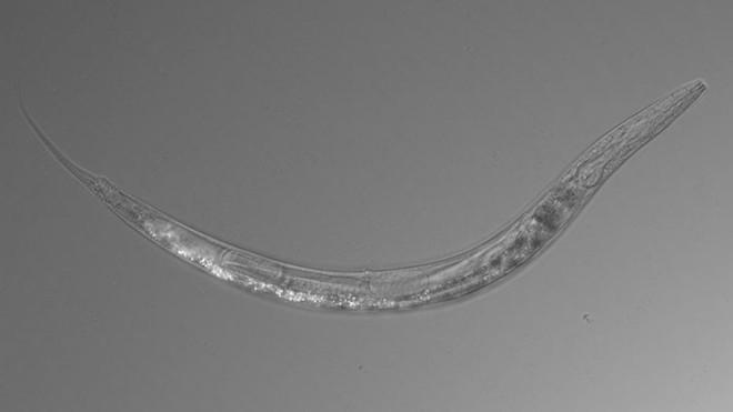 Phát hiện sinh vật sở hữu tới 3 giới tính khác nhau, sống trong môi trường nhiễm asen cao hơn 500 lần ngưỡng chịu đựng của con người - Ảnh 1.