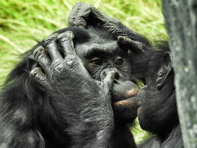 Con người đã thay đổi văn hóa của loài tinh tinh và làm cho chúng ngày càng ngu ngốc? - Ảnh 5.
