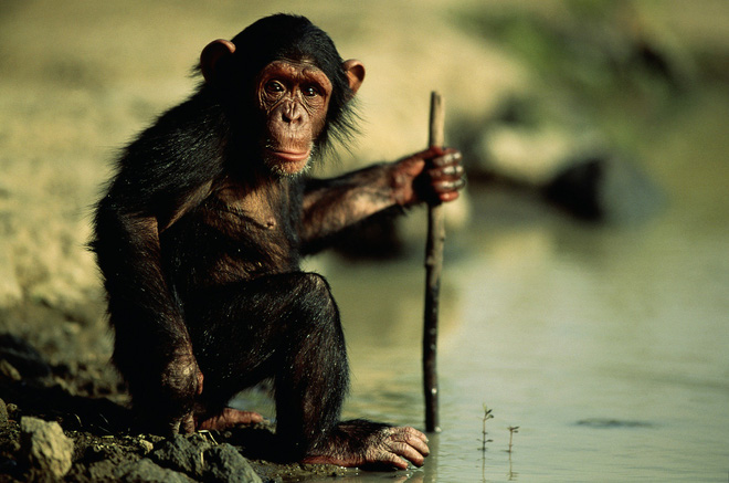 Con người đã thay đổi văn hóa của loài tinh tinh và làm cho chúng ngày càng ngu ngốc? - Ảnh 8.