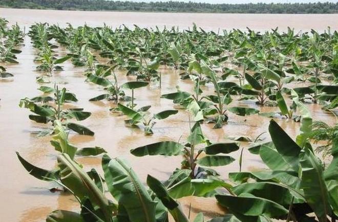 Biến đổi khí hậu đe dọa làm giảm nguồn cung chuối trên toàn cầu, sẽ không còn đủ chuối cho người dân ăn? - Ảnh 2.