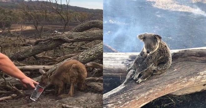 Việc giải cứu động vật hoang dã trong đại thảm họa cháy rừng ở Úc diễn ra như thế nào? - Ảnh 5.