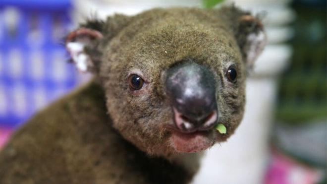 Việc giải cứu động vật hoang dã trong đại thảm họa cháy rừng ở Úc diễn ra như thế nào? - Ảnh 4.