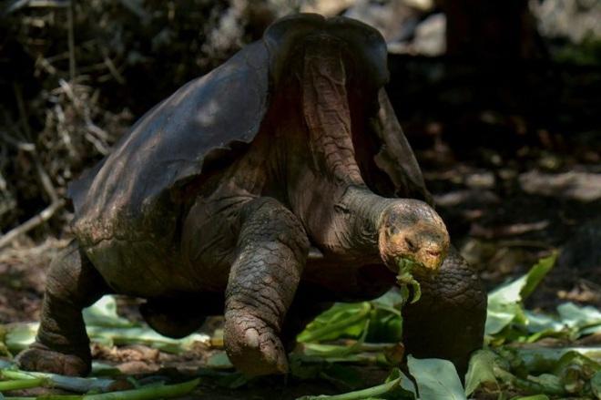 Chú rùa dân chơi về hưu sau khi hoàn thành sứ mệnh cứu giống nòi khỏi tuyệt chủng hơn 40 năm qua - Ảnh 1.