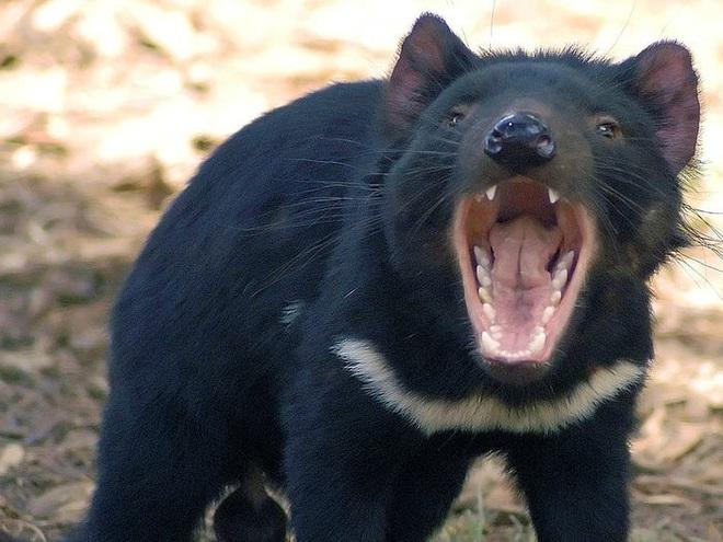 Cứ ngỡ đã tuyệt chủng từ những năm 1930, nhưng có lẽ hổ Tasmania vẫn còn tồn tại đâu đó ngoài kia - Ảnh 8.