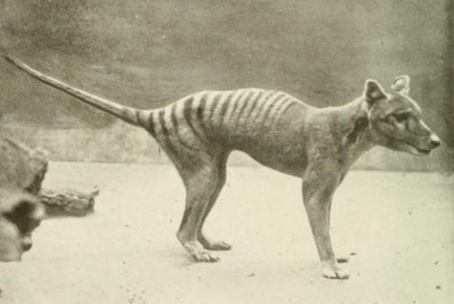 Cứ ngỡ đã tuyệt chủng từ những năm 1930, nhưng có lẽ hổ Tasmania vẫn còn tồn tại đâu đó ngoài kia - Ảnh 17.