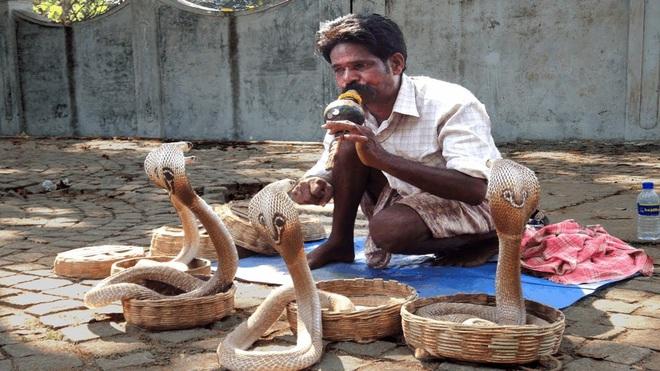 Giải mã bí mật đằng sau màn ảo thuật điều khiển rắn hổ mang bằng kèn của phù thủy rắn Ấn Độ - Ảnh 3.