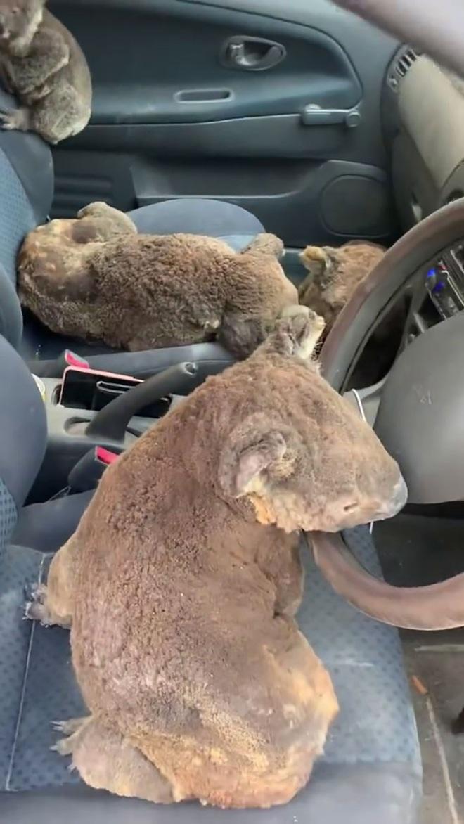 Úc: Hai cậu teen dũng cảm lái xe quanh những khu vực cháy lớn để giải cứu càng nhiều gấu túi koala càng tốt - Ảnh 2.