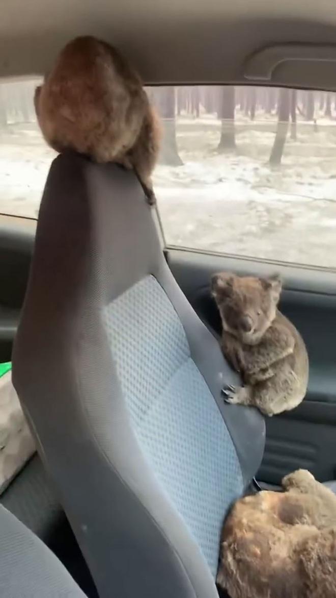 Úc: Hai cậu teen dũng cảm lái xe quanh những khu vực cháy lớn để giải cứu càng nhiều gấu túi koala càng tốt - Ảnh 3.