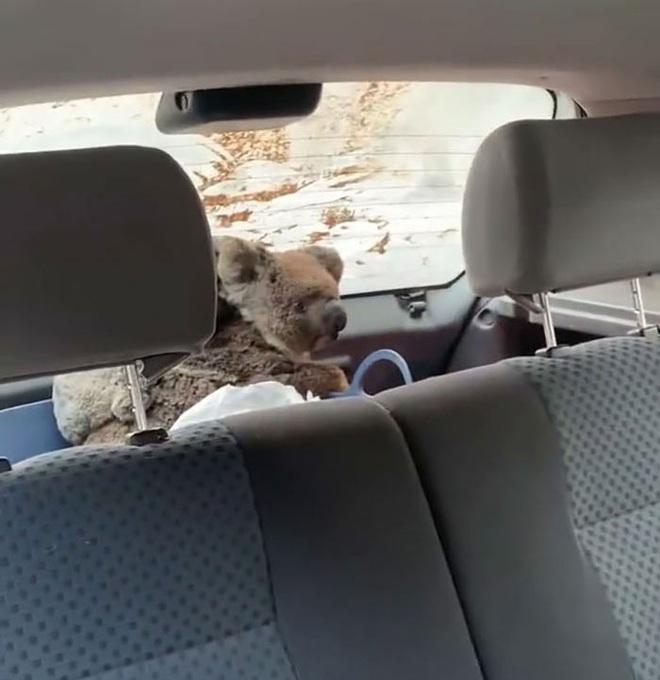 Úc: Hai cậu teen dũng cảm lái xe quanh những khu vực cháy lớn để giải cứu càng nhiều gấu túi koala càng tốt - Ảnh 4.