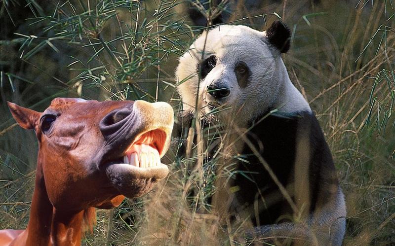 Một năm mất hình tượng của gấu trúc Trung Quốc: Tại sao chúng cứ trát phân ngựa lên mặt?