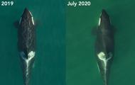 Tin vui: Con cá voi sát thủ từng ôm xác con trong đau đớn suốt 17 ngày đã mang thai lần nữa