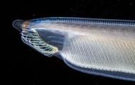 Không đầu, không tim, không xương, cá Văn Xương có thể tồn tại được suốt 500 triệu năm cho tới tận ngày nay