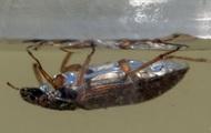 Các nhà khoa học đã quan sát được một con bọ cánh cứng đi trên mặt nước, nhưng theo chiều ngược lại
