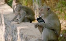 Những con khỉ trộm cướp ở Indonesia ngày càng thông minh, có thể nhận biết món đồ giá trị cao để lấy rồi đòi tiền chuộc
