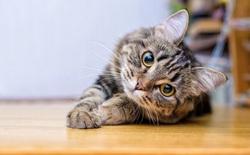Nhờ khả năng này, loài mèo có thể là cứu tinh giúp thế giới thoát khỏi COVID-19