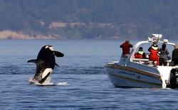 Lần đầu ghi nhận hành vi tấn công tàu thuyền theo đàn của cá voi sát thủ