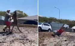 Úc: Bảo vệ con nhỏ, ông bố bị kangaroo hoang dã đá ngã lăn ra đất, gãy cả tay