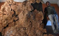 Loài rùa nước ngọt lớn nhất từng tồn tại có chiều dài đến 3 mét, mai nặng tới hơn 1 tấn