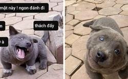 Chú chó hot nhất Facebook gần 1 tuần qua, lập fanpage 4 ngày thu về 32 ngàn lượt thích, ai nhìn cũng muốn nuôi!