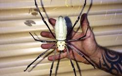 Lại là nước Úc kì diệu: Loài nhện siêu to khổng lồ với kích thước lớn hơn bàn tay người trưởng thành, có thể ăn cả dơi và chim