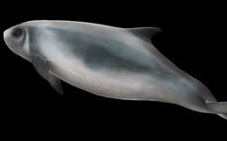 """Video hiếm có: Cá nhà táng lùn có cơ chế tự vệ y hệt bạch tuộc, cũng biết """"ném bom mực"""" khi lâm nguy"""
