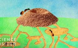 Một tổ kiến cỡ trung có khoảng 250.000 chú kiến, hãy cùng khám phá bên trong nhà của chúng