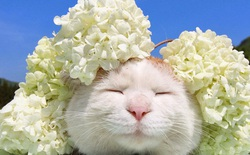 """Chú mèo Shironeko huyền thoại đã qua đời, gia đình chọn đúng ngày """"sinh nhật"""" 18 tuổi để công bố tin buồn"""