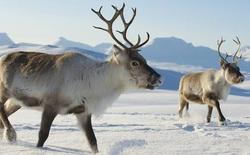 Nghiên cứu mới: Cứ thả động vật ăn cỏ chạy quanh Bắc Cực, ta sẽ cứu được băng vĩnh cửu và hạn chế biến đổi khí hậu