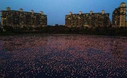 """Tận dụng lúc con người vắng mặt, hàng chục vạn con hồng hạc đã """"phủ hồng"""" mặt nước Mumbai"""